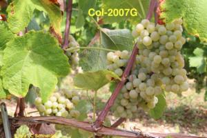 Col-2007G (Colmar)