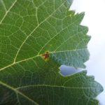 Cabernet cortis - Mildiou (Servian (34), juillet 2017)