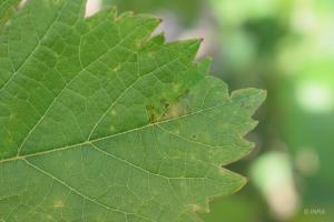 mildiou sur soreliRodhilan (30)