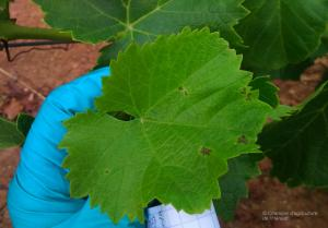 mildiou sur muscaris, Servian (34)