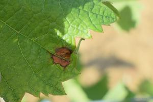 mildiou sur monarch, Carcassonne (11)