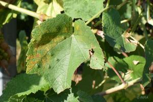 mildiou sur Floreal, Caussens (32)